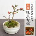 長寿梅盆栽信楽焼鉢白