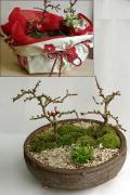 ご両親へ感謝を込めて贈る【紅白長寿梅(コウハクチョウジュバイ)の盆栽】小粋な風呂敷ラッピング