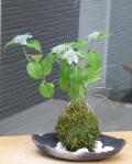 山紫陽花苔玉炭化焼締鉢2016m