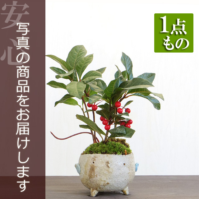 ヤブコウジ盆栽20161220m