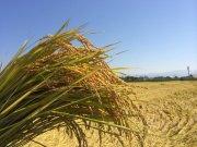 米どころ会津湯川村の特別栽培米(玄米)コシヒカリ精米30kg【栗城ドリームファーム】
