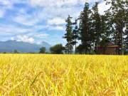 米どころ会津湯川村の特別栽培米コシヒカリ精米27kg【栗城ドリームファーム】