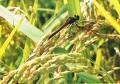 ◆有機農家をご支援願います◆福島の大地が育んだ「会津産無農薬栽培コシヒカリ」(玄米5kg)