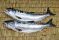 根室魚河岸 茂勝 とき(時不知)鮭