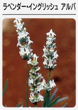 ラベンダー イングリッシュアルバ(白花) (3寸ポット)ハーブ苗