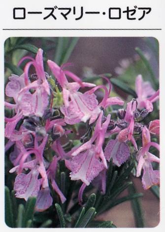 ローズマリーロゼア/ピンク花(3寸ポット) ハーブ苗