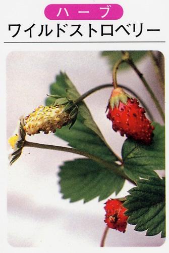 ワイルドストロベリー/赤実(3寸ポット)ハーブ苗