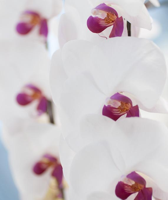 5本立ホワイト・レッド大輪胡蝶蘭