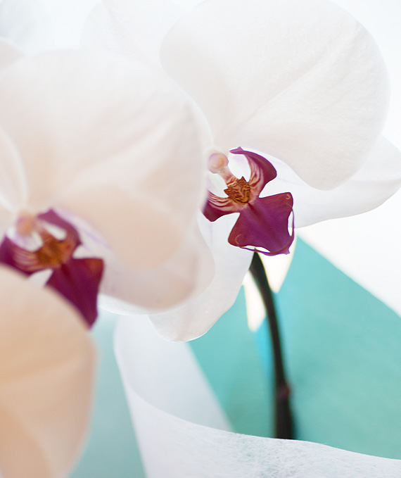 ロイヤル・3本立ホワイト・レッド大輪胡蝶蘭