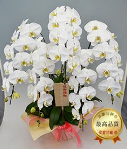 ロイヤル・5本立ホワイト大輪胡蝶蘭