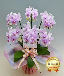 ライトピンク系ミディ胡蝶蘭・ゴージャスサイズ