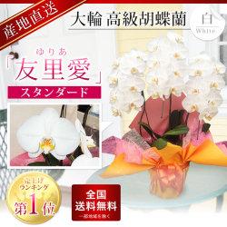 蘭すぐネット人気ランキング1位 スタンダード胡蝶蘭「友里愛」3本立ち 白