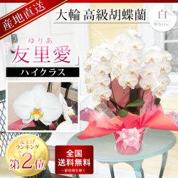 蘭すぐネット人気ランキング第2位 ハイクラス胡蝶蘭「友里愛」3本立ち 白