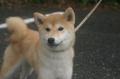 柴犬(女の子)