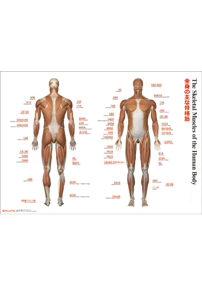 【ポスター】「全身の主な骨格筋」(The Skeletal Muscles of the Human Body)