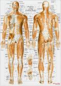 【解剖学ジグソー】全身の筋・英語版