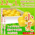 土佐小夏(高知県産)・家庭用兼ご贈答用(上物・ハイクラス)・小箱(約2.2kg)・Lサイズ