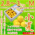 土佐小夏(高知県産)・家庭用兼ご贈答用(上物・ハイクラス)・(約2.8〜3kg)・Mサイズ