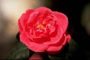 薔薇のアリア