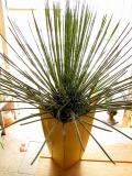 アガベ ゲミニフローラ 多肉植物 観葉植物 静岡 花屋 鉢花 苗