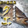 壱岐天然クエ8k (送料無料)