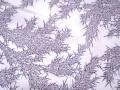 紫苑(しおん)色、竹林文様の江戸小紋 【3810】