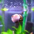 イシマキ貝