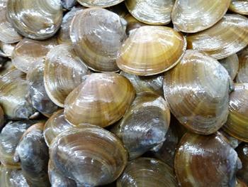 アケミ貝1kg (M.L)