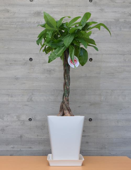 観葉植物「パキラ」7号鉢