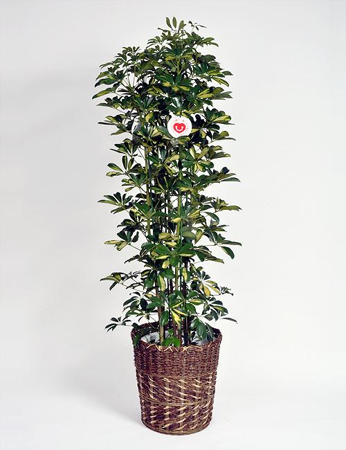 観葉植物「ホンコンカポック」(斑入り)10号鉢