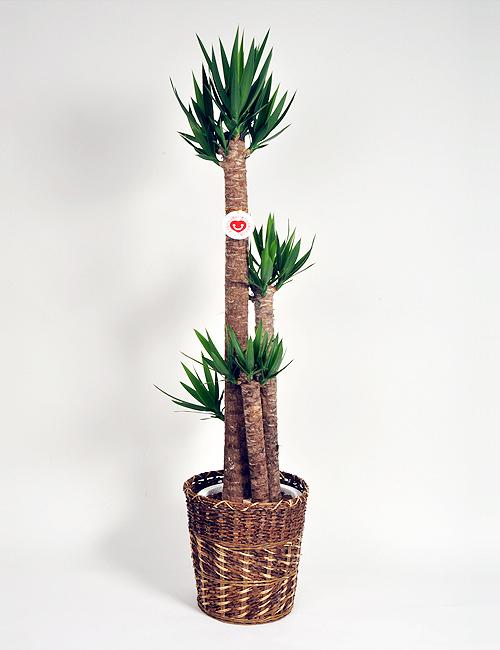 観葉植物「ユッカ」10号鉢