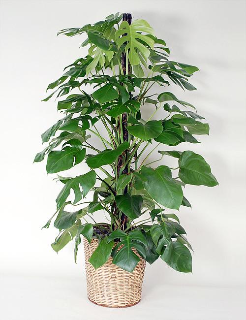 観葉植物「モンステラ」10号鉢