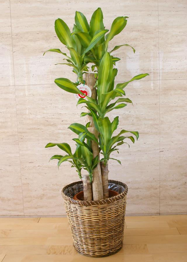 観葉植物「幸福の木」8号鉢