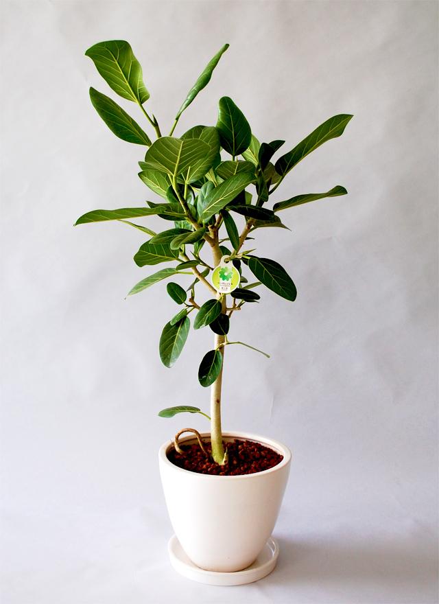 観葉植物「ベンガルゴム」9号鉢