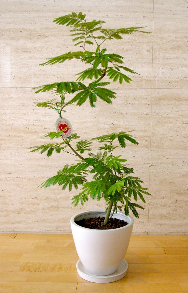 観葉植物「エバーフレッシュ」9号鉢