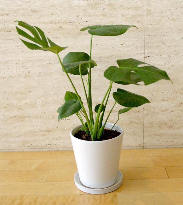 観葉植物「モンステラ」6号鉢
