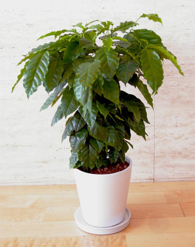 観葉植物「コーヒーノキ」6号鉢