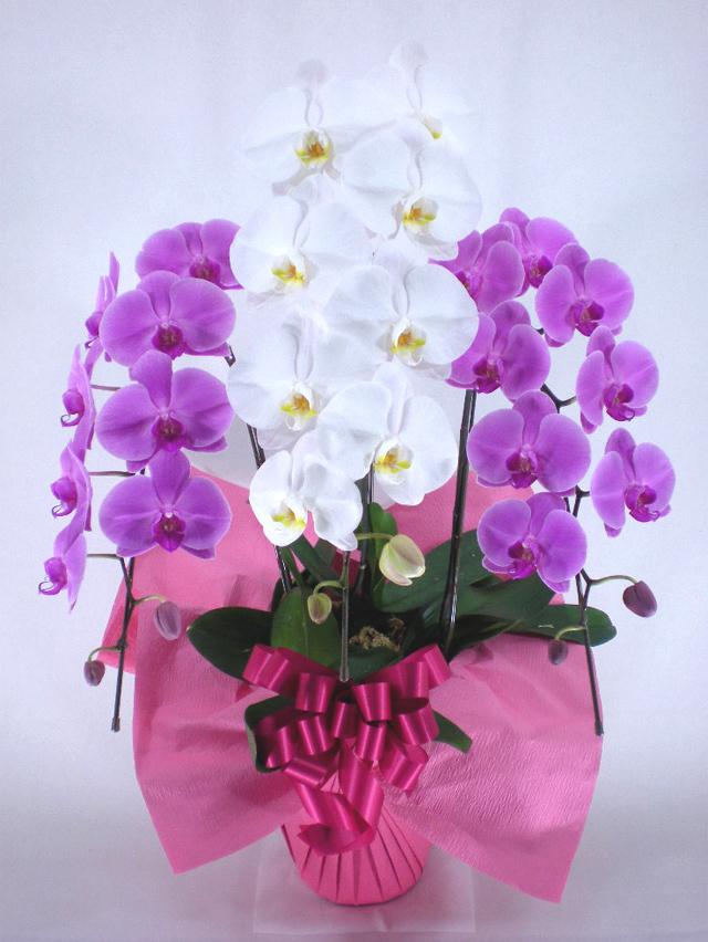 紅白胡蝶蘭3本立ち -スタンダード-