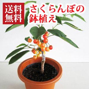 さくらんぼ鉢植え