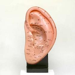 耳つぼ模型(大) カナケン製 (スタンド付)