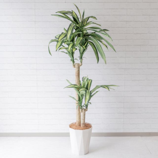 【PG116 マッサン(幸福の木) H160cm/ポリプロピレン鉢】