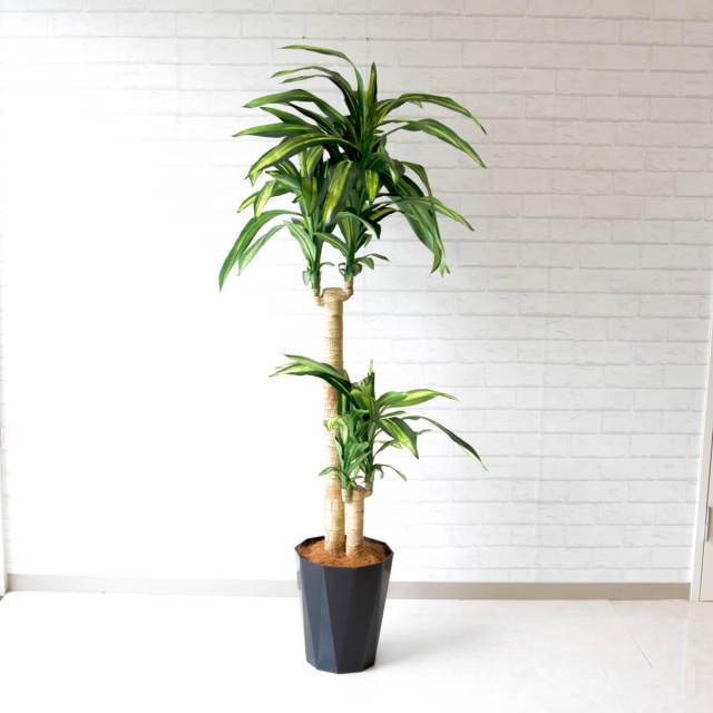 【PG117 マッサン(幸福の木) H160cm/ポリプロピレン鉢】