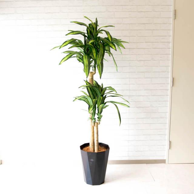 【PG118 マッサン(幸福の木) H180cm/ポリプロピレン鉢】