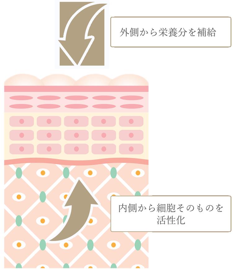 外側から栄養分を補給、内側から細胞そのものを活性化