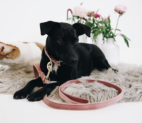 KENTUCKY Dog lead ベルベット