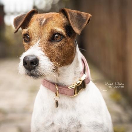 KENTUCKY Dog Collar ベルベット