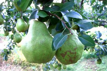 お歳暮シルバーベル通販 山形県特大西洋梨を販売取寄。中箱 約4玉~約7玉