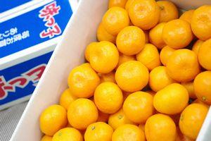 味っ子みかん通信販売 長崎県JA西海産をお歳暮長崎みかんに 糖度13度以上 約5kg