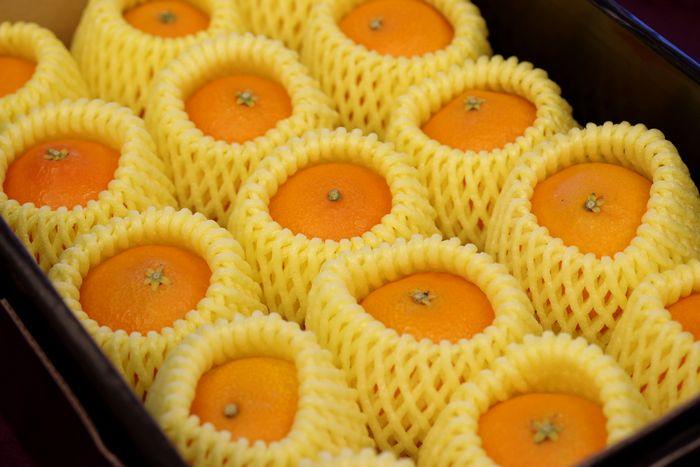 M~L小さめサイズ 紅まどんな  お歳暮に愛媛県ゼリーの様な食感が特徴の柑橘 約12玉前後