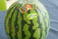 富里西瓜通販 千葉産。一果取りスイカ販売取寄。果物ギフト1玉  L~4L